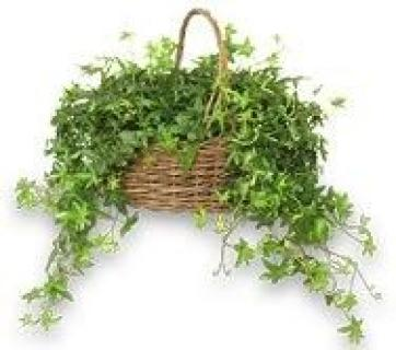 Basket Of Ivy