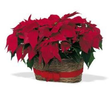DOUBLE RED POINSETTIAS