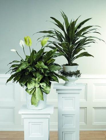 Dracaena Plant In Decorated Urn