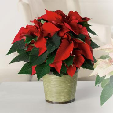Red Classic Poinsettia
