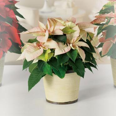Creamy White Poinsettia