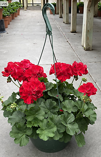 OUTDOOR HANGING GERANIUM BASKET