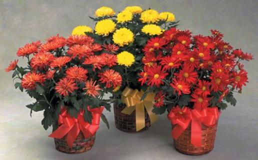 Blazing Fall Daisy Mum Plants