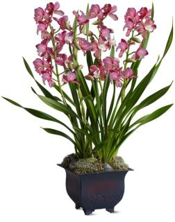 Simply Cymbidium