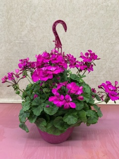 OUTDOOR HANGING BASKET WITH  FUSCHIA GERANIUMS