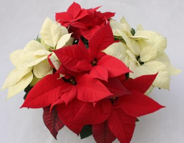 RED AND WHITE POINSETTIA BASKET