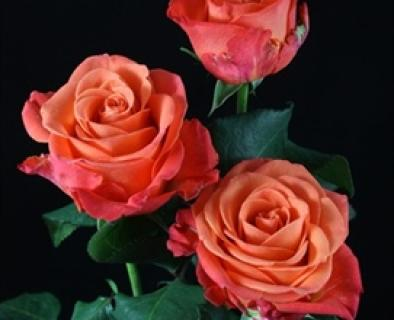 ORANGE CRUSH ROSES 1 DOZEN WRAPPED