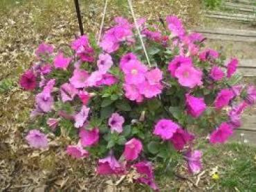OUTDOOR HANGING FLOWER BASKET WITH PETUNIAS